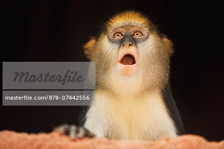 Mona monkey inside house, Cercopithecus mona, Boabeng-Fiema Monkey Sanctuary, Ghana Stock Photo - Rights-Managed, Image code: 878-07442556