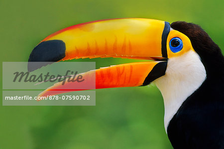 Toco toucan, Ramphastos toco, Pantanal, Brazil Stock Photo - Rights-Managed, Image code: 878-07590702