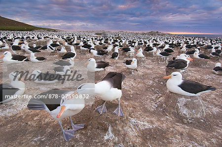 Black-browed albatrosses courting at edge of colony, Thalassarche melanophrys, Steeple Jason Island, Falkland Islands Stock Photo - Rights-Managed, Image code: 878-07590832