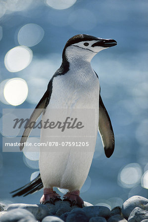 Chinstrap penguin, Pygoscelis antarctica, South Georgia Island Stock Photo - Rights-Managed, Image code: 878-07591205