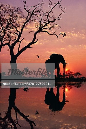 African elephant at dawn, Loxodonta africana, Chobe National Park, Botswana Stock Photo - Rights-Managed, Image code: 878-07591211