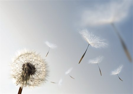 solarseven - A Dandelion blowing seeds in the wind. Stock Photo - Budget Royalty-Free & Subscription, Code: 400-04016032