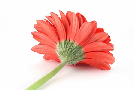 red gerbera from a different angle Stock Photo - Budget Royalty-Free & Subscription, Code: 400-04019885