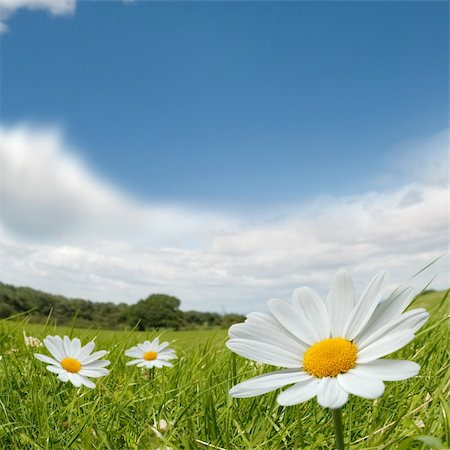 flores - Camomile flowers on a lovely summers day. Stock Photo - Budget Royalty-Free & Subscription, Code: 400-04024403