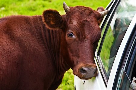 village series: portrait of cow, butt to auto Stock Photo - Budget Royalty-Free & Subscription, Code: 400-04023046
