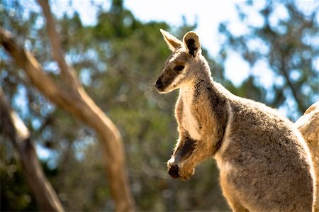 A wallaby soaks up the Aussie Summer sun Stock Photo - Budget Royalty-Free & Subscription, Code: 400-04044726