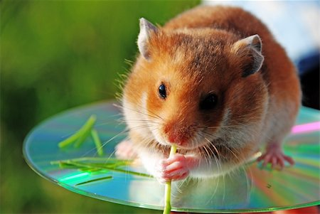 A hamster is a darling by children young wild of animal. Stock Photo - Budget Royalty-Free & Subscription, Code: 400-04066681
