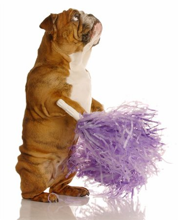 english bulldog holding cheerleading pompoms isolated on white background Stock Photo - Budget Royalty-Free & Subscription, Code: 400-04083048