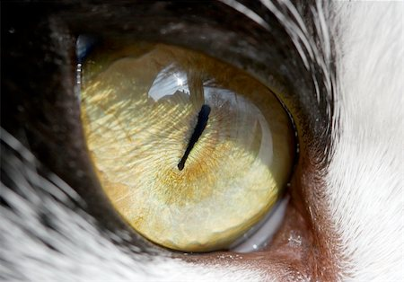 Eye of a cat - detailed closeup Stock Photo - Budget Royalty-Free & Subscription, Code: 400-04097485