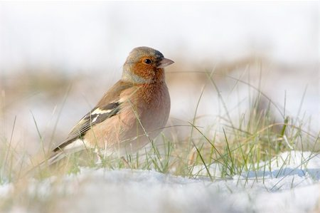 fringilla - Chaffinch in the snow in a cold winter. You can see every detail of the head. Stock Photo - Budget Royalty-Free & Subscription, Code: 400-04092165