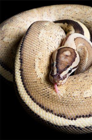 snake skin - Super Stripe Ball Python against black background. Stock Photo - Budget Royalty-Free & Subscription, Code: 400-04092905