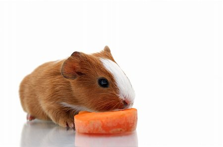 Newborn guinea pig with carrot before white background. Stock Photo - Budget Royalty-Free & Subscription, Code: 400-04128243