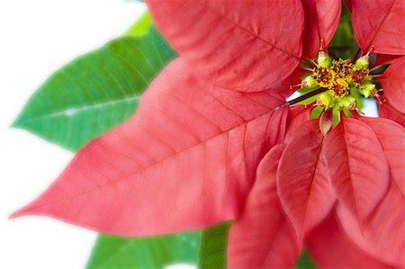 spanishalex (artist) - Poinsettia Macro Over White Stock Photo - Budget Royalty-Free & Subscription, Code: 400-04159874