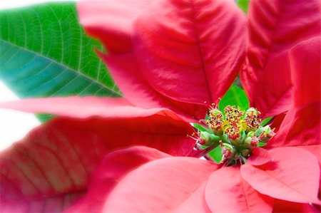 spanishalex (artist) - Poinsettia Macro Over White Stock Photo - Budget Royalty-Free & Subscription, Code: 400-04159873