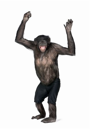 smiling chimpanzee - Portrait of smiling chimpanzee in shorts with arms raised against white background, studio shot. (Mixed-Breed between Chimpanzee and Bonobo) (20 years old) Stock Photo - Budget Royalty-Free & Subscription, Code: 400-04165605
