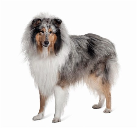 sheltie - Sheltie dog standing in front of white background, studio shot Stock Photo - Budget Royalty-Free & Subscription, Code: 400-04166545