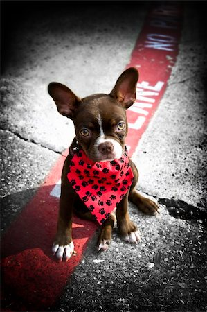 Image of a cute puppy wearing a red bandana sitting on a fire lane Stock Photo - Budget Royalty-Free & Subscription, Code: 400-04161226