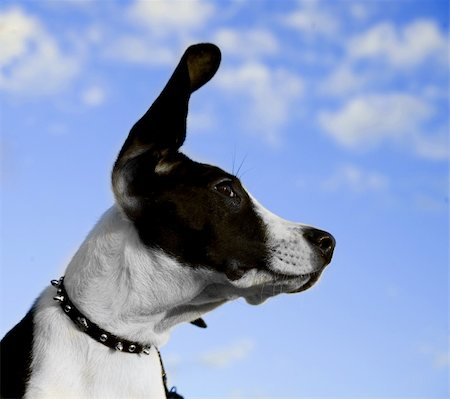 Image of a black and white dog with ear in air Stock Photo - Budget Royalty-Free & Subscription, Code: 400-04161416