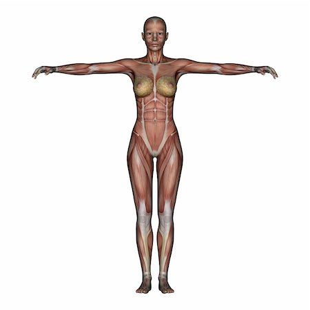 3D render depicting human anatomy - muscles - female Stock Photo - Budget Royalty-Free & Subscription, Code: 400-04178473