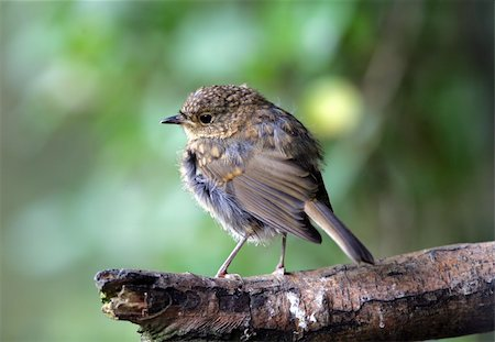 Portrait of a young Robin Stock Photo - Budget Royalty-Free & Subscription, Code: 400-04184652