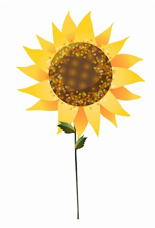 a sunflower isolate on a white background Stock Photo - Budget Royalty-Free & Subscription, Code: 400-04180379
