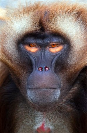 An portrait of a nice ape with orange eyes Stock Photo - Budget Royalty-Free & Subscription, Code: 400-04196042