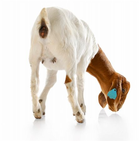 rear view of south african boer goat doeling with reflection on white background Stock Photo - Budget Royalty-Free & Subscription, Code: 400-04208204