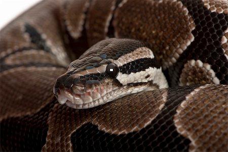 snake skin - Close-up of Python regius snake Stock Photo - Budget Royalty-Free & Subscription, Code: 400-04203058