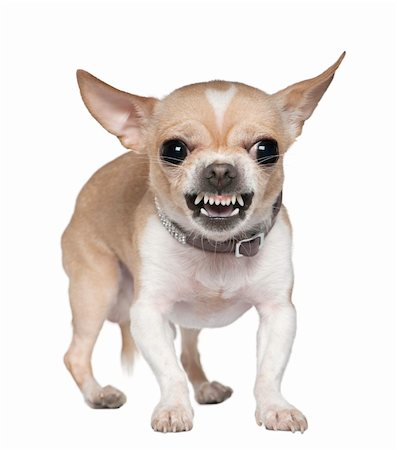 Angry Chihuahua growling, 2 years old, in front of white background Stock Photo - Budget Royalty-Free & Subscription, Code: 400-04203736