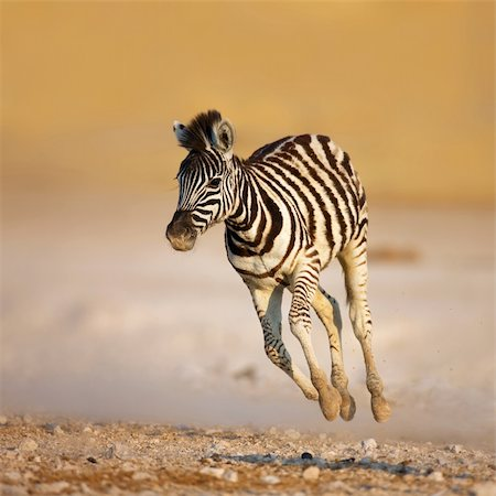 Close-up of a young zebra running on rocky plains of Etosha Stock Photo - Budget Royalty-Free & Subscription, Code: 400-04215977