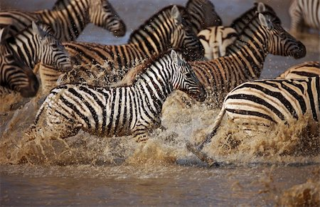 Frightened herd of zebra's fleeing from  waterhole ; Etosha Stock Photo - Budget Royalty-Free & Subscription, Code: 400-04215981