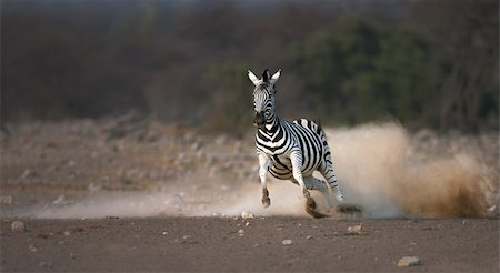 Frightened zebra running and leaving a dust trail ; Etosha Stock Photo - Budget Royalty-Free & Subscription, Code: 400-04216000