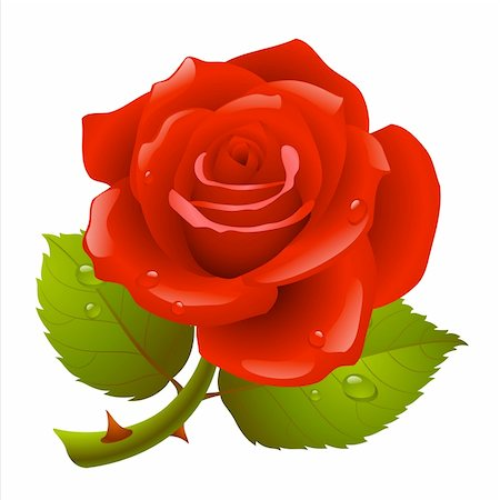 Red rose Stock Photo - Budget Royalty-Free & Subscription, Code: 400-04228501