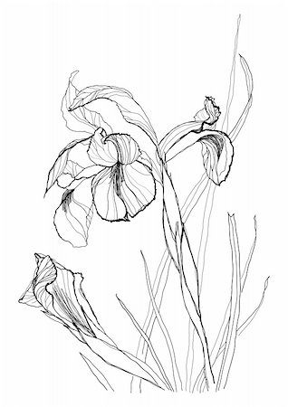 Iris flower drawing on white background Stock Photo - Budget Royalty-Free & Subscription, Code: 400-04238534