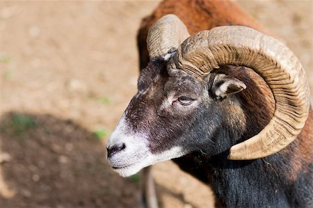 Headshot of a Big Horned Ram - with lot of copy space Stock Photo - Budget Royalty-Free & Subscription, Code: 400-04255474