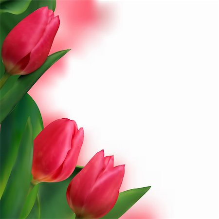florist vector - Tulip flowers forming an abstract border, isolated over white background with copy space. EPS 8 vector file included Stock Photo - Budget Royalty-Free & Subscription, Code: 400-04256851