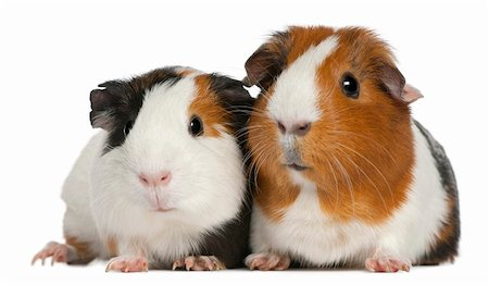 Guinea pigs, 3 years old, lying in front of white background Stock Photo - Budget Royalty-Free & Subscription, Code: 400-04264848