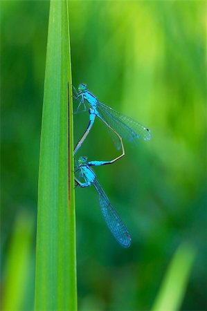 people mating - Two dragonflies, who love each other Stock Photo - Budget Royalty-Free & Subscription, Code: 400-04268761