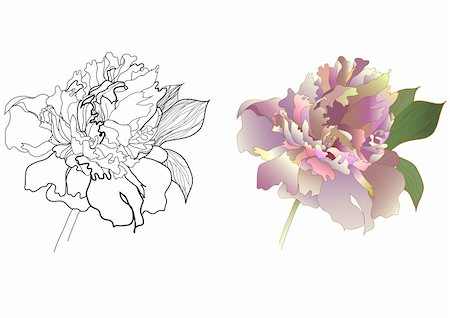 peony illustrations - peony black & white and coloured Stock Photo - Budget Royalty-Free & Subscription, Code: 400-04284057