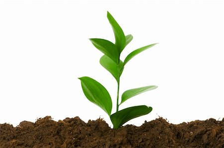 flores - New life concept - green seedling growing out of soil Stock Photo - Budget Royalty-Free & Subscription, Code: 400-04285316
