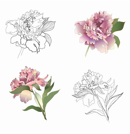 peony illustrations - peony black & white and coloured set Stock Photo - Budget Royalty-Free & Subscription, Code: 400-04285729