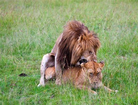 people mating - two lions mating during the love season in masai mara, kenya Stock Photo - Budget Royalty-Free & Subscription, Code: 400-04286040