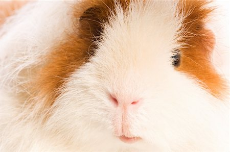 guinea pig Stock Photo - Budget Royalty-Free & Subscription, Code: 400-04286556