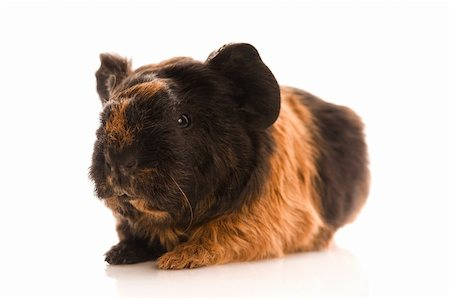 baby guinea pig Stock Photo - Budget Royalty-Free & Subscription, Code: 400-04286563