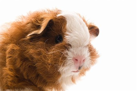 baby guinea pig. texel. isolated on the white Stock Photo - Budget Royalty-Free & Subscription, Code: 400-04286736