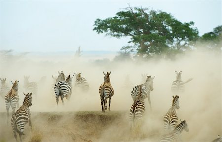 Herd of zebras (African Equids) running in the dust in nature reserve in South Africa Stock Photo - Budget Royalty-Free & Subscription, Code: 400-04305627