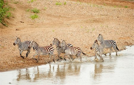 Herd of zebras (African Equids) running along the river in nature reserve in South Africa Stock Photo - Budget Royalty-Free & Subscription, Code: 400-04305628
