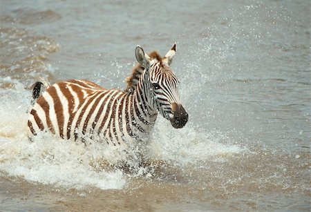 Single zebra (African Equids) crossing the river in nature reserve in South Africa Stock Photo - Budget Royalty-Free & Subscription, Code: 400-04305643