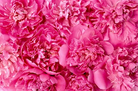 pattern paeonia - Peony flower heads - background Stock Photo - Budget Royalty-Free & Subscription, Code: 400-04306076