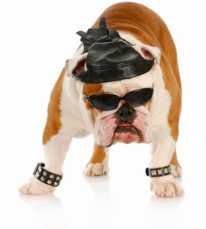 english bulldog dressed up like a tough biker with leather skull cap on white background Stock Photo - Budget Royalty-Free & Subscription, Code: 400-04306983